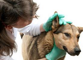 Отит у собак, принимаем срочные меры для лечения
