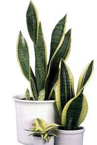 Комнатные растения-лекари в интерьере. Сансевиерия, тещин язык.