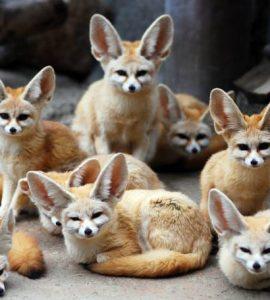 Фенек - домашняя лиса