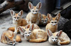 Домашняя лисичка — фенек